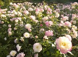 Roze rozen blog